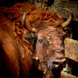 European bison portrait. (Bison bonasus Royalty Free Stock Photo
