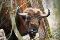 European bison portrait. Photographed in winter in a Polish forest Stock Photos