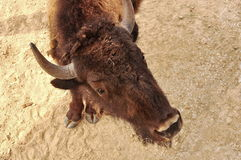 European bison, portrait. Top view Royalty Free Stock Photo