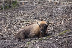 European bison resting in forest mud Royalty Free Stock Photography