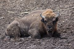 European bison animal resting in forest mud Stock Photos