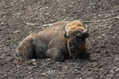 European bison resting in forest mud Royalty Free Stock Photo