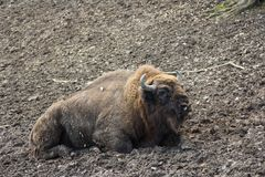 European bison resting in forest mud Stock Photo