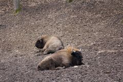European bison resting in forest mud Stock Photography
