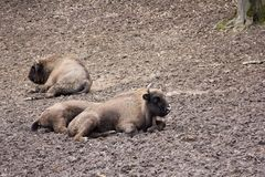 European bison resting in forest mud Royalty Free Stock Image