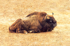 European bison resting Royalty Free Stock Photography