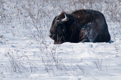 European Bison Rolling Over in Snow Royalty Free Stock Images