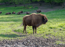 European bison in Romania Royalty Free Stock Photography