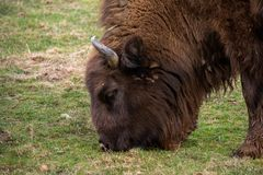European bison portrait ,Romania reservation from Brasov county. European bison in Romania reservation from Brasov county .The European bison, also known as stock photography