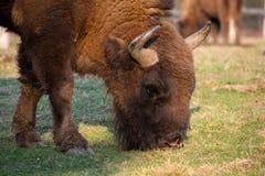 European bison portrait ,Romania reservation from Brasov county. European bison in Romania reservation from Brasov county .The European bison, also known as royalty free stock photos