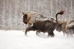 European bison running in Orlovskoye Polesie National park in Ru Royalty Free Stock Image