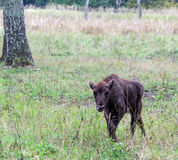 European bison`s calf Stock Photos