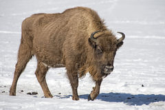 European bison on snow Royalty Free Stock Photography