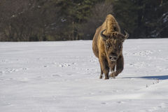 European bison on snow Royalty Free Stock Images