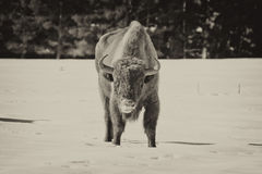 European bison on snow Royalty Free Stock Photos