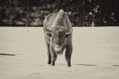 European bison on snow Royalty Free Stock Photos