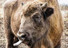 European bison tongue out Royalty Free Stock Image