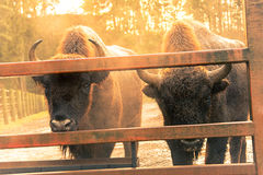 European bison. Two european bison looking into the camera Stock Image