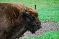 European bison. Wild european bison (wisent) portrait Royalty Free Stock Image