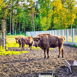 European Bison In Wildlife Sanctuary Stock Photo
