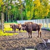 European Bison In Wildlife Sanctuary Stock Photo