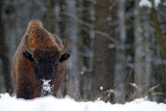 European bison in the winter forest, cold scene with big brown animal in the nature habitat, snow in the tree, Royalty Free Stock Photography