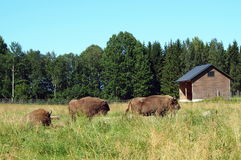 European Bison, Wisent. Animal enclosure in Avesta Bison park, Sweden Royalty Free Stock Photos