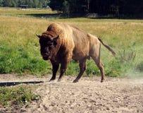 European Bison, Wisent. Animal enclosure in Avesta Bison park, Sweden Stock Photos