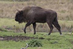 European bison, wisent, buffalo, walking and laying scene Royalty Free Stock Photography