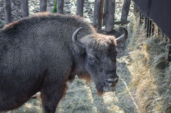 European bison (wisent) Stock Images