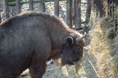 European bison (wisent) Stock Photos