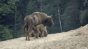 European bison - Wisent, Female and calf Stock Photos