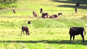 European bison or wisent stock video footage