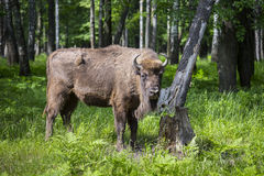 European bison, wisent Stock Image