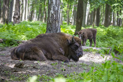 European bison, wisent Royalty Free Stock Photos