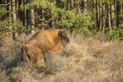 European Bison, Wisent Stock Images