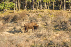 European Bison, Wisent Royalty Free Stock Images