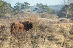 European Bison, Wisent Stock Photography