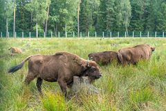 European bison Wisent, Zubr in pasture in summer. royalty free stock image