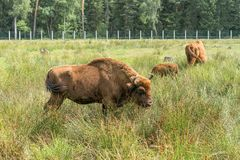 European bison Wisent, Zubr in pasture in summer. royalty free stock images