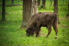 European Bison. Young bison eating grass in the woods Stock Photos