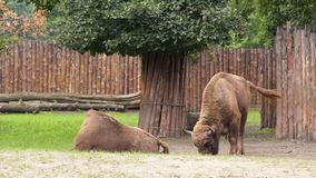 European Bison in zoo. European Bison. Large male bison in the zoo. Wonderful big animals stock footage