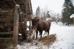 European bison, zubr stock photos
