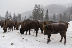 European bison, zubr royalty free stock photos