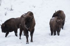 European bison, zubr Royalty Free Stock Images