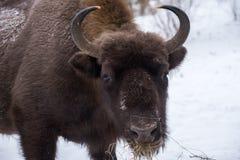 European bison, zubr stock images