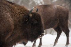 European bison, zubr stock photo