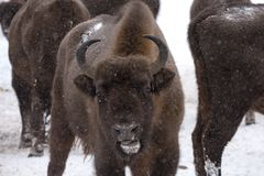 European bison, zubr royalty free stock image