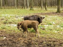 European bisons Bison bonasus, young animals, aurochs in the forest stock photography