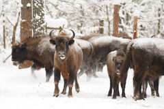 European bisons family in winter forest Royalty Free Stock Photos